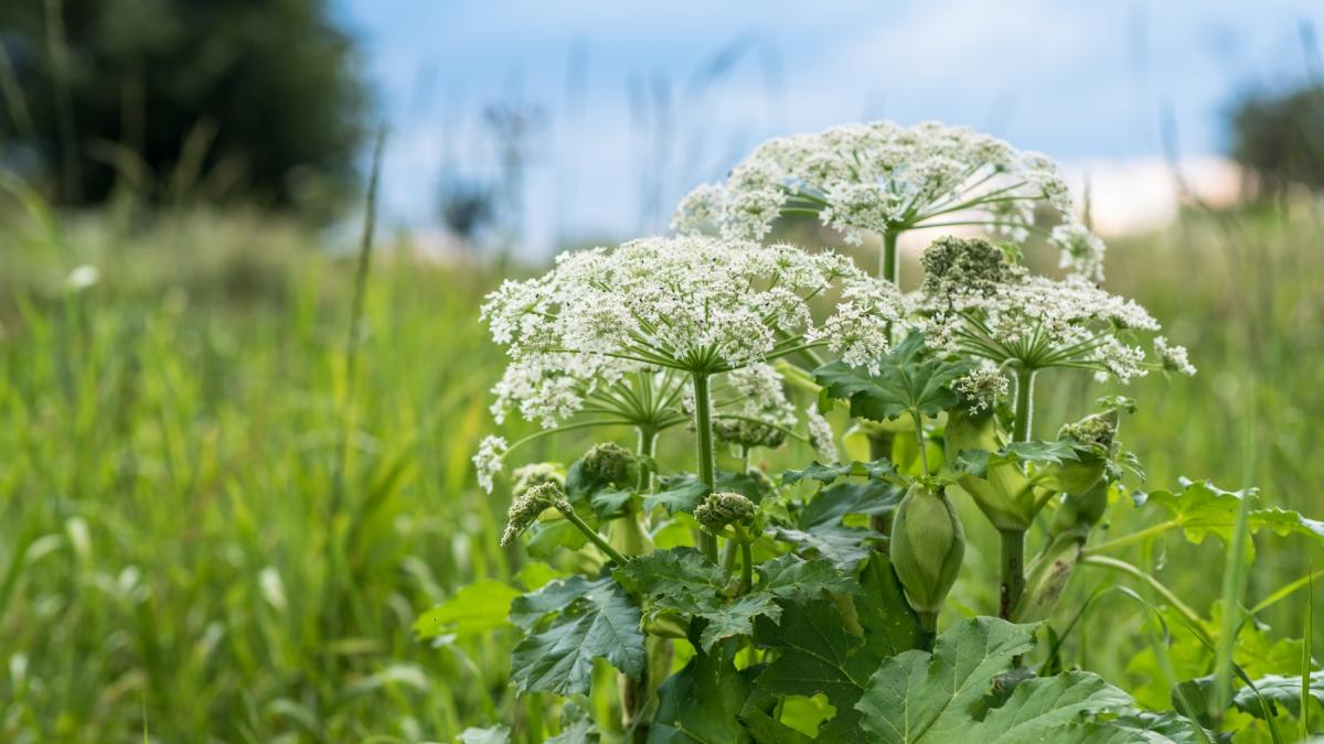 Jak rozpoznać rośliny trujące? Zagraża ci nie tylko barszcz Sosnowskiego