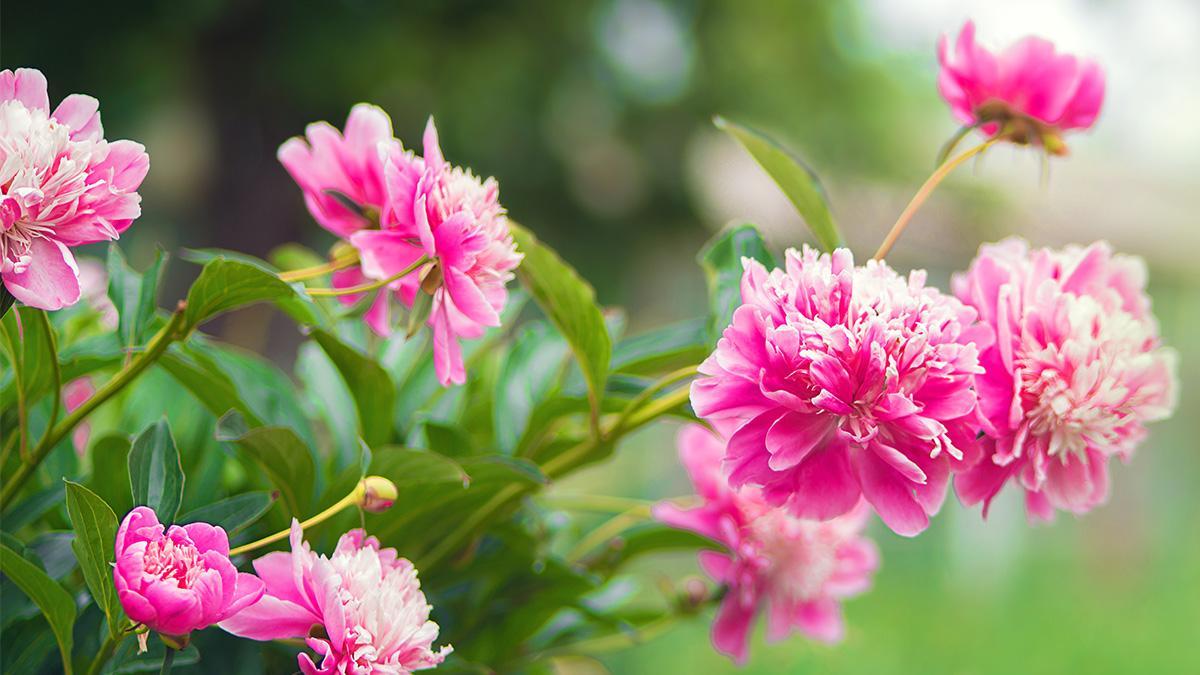 Najmocniej Pachnace Kwiaty 12 Najpiekniejszych Gatunkow Ogrod I Balkon Polki Pl