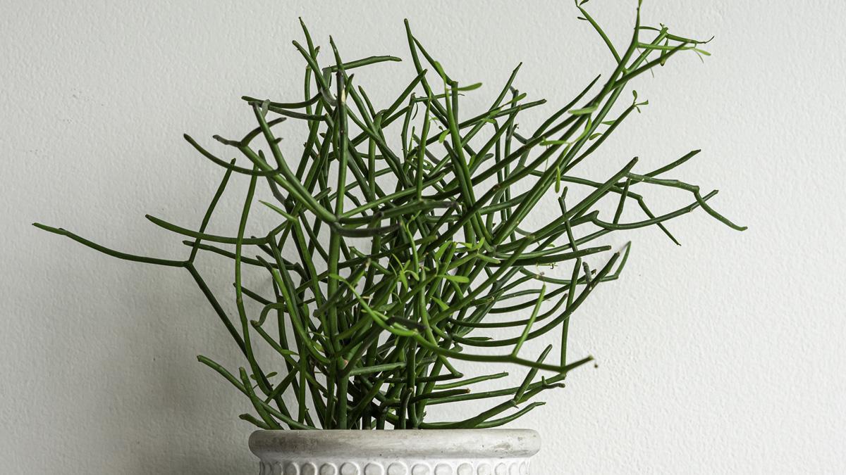 wilczomlecz palczasty - Euphorbia Tirucalli