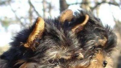 GRATIS Boze Narodzenie szczeniaki yorkie na Adopcja.