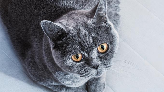 Kot Amerykański Krótkowłosy Koty Krótkowłose Zdjęcia I