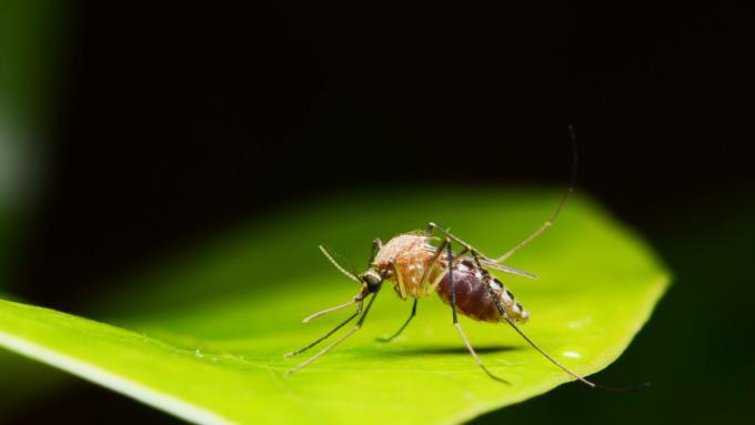 Rośliny odstraszające komary – nie tylko komarzyca jest skuteczna
