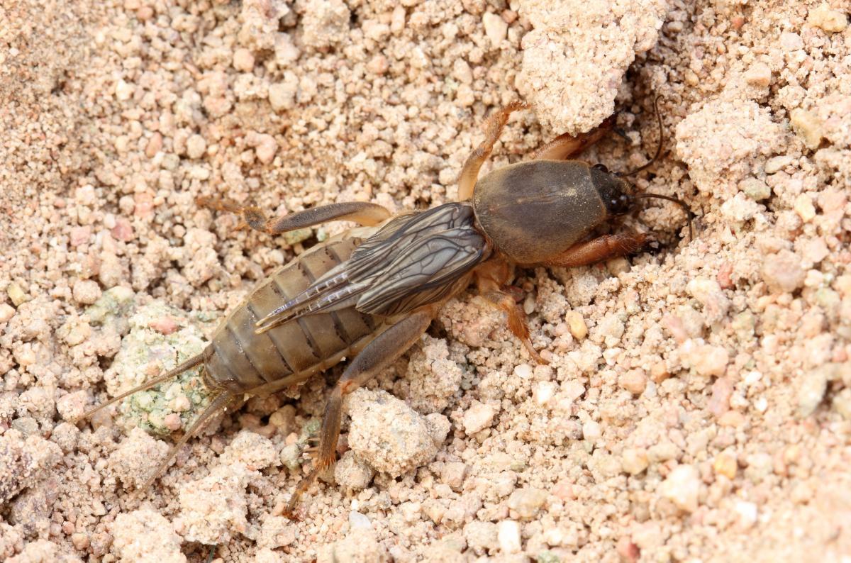 Turkuć podjadek zdjęcie owada