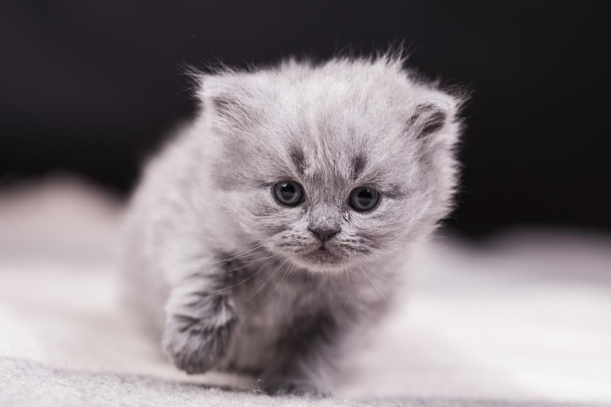 Encyklopedia ras kotów - kot amerykański courl krótkowłosy