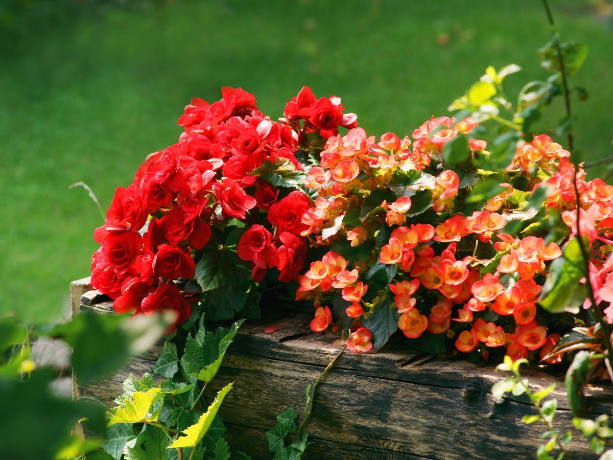 Begonia ogrodowa
