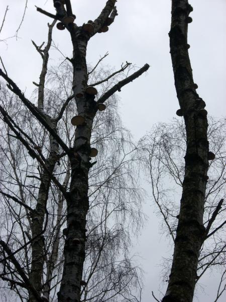 Białoporek brzozowy (Piptoporus betulinus)