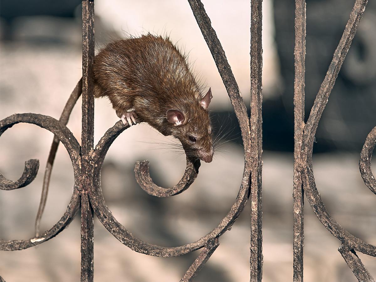 uciekający szczur sennik