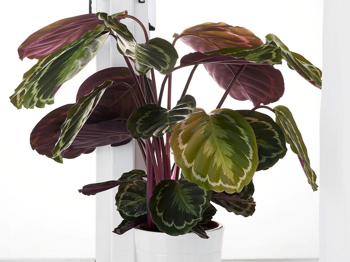 kwiaty Ikea - Calathea Marion