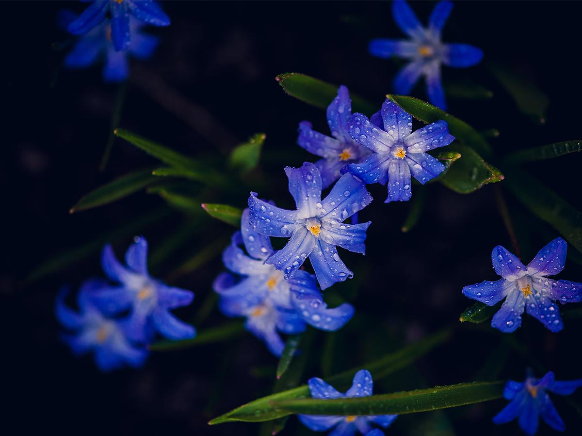cebulica kwiaty