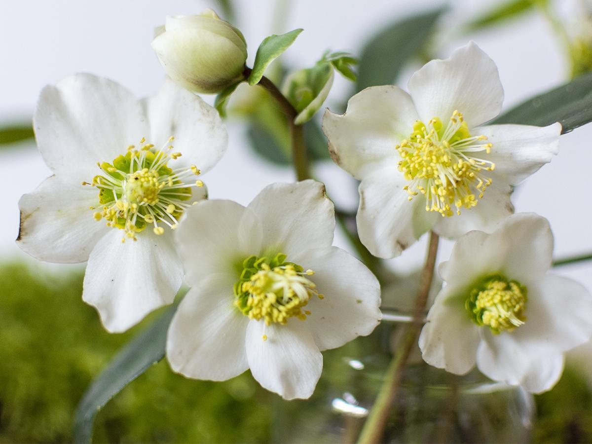 ciemiernik biały kwiaty