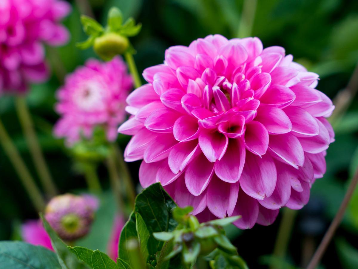 Dalia - horoskop kwiatowy