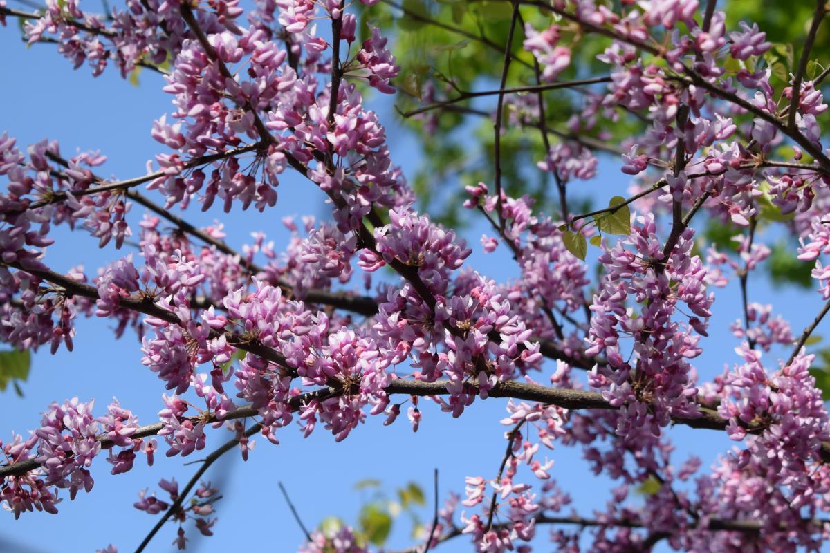 drzewka z różowymi kwiatami - judaszowiec