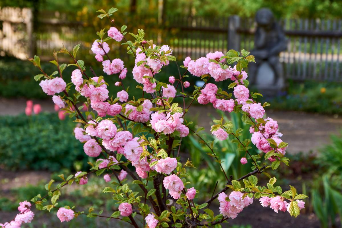 drzewa kwitnące na różowo - migdałek