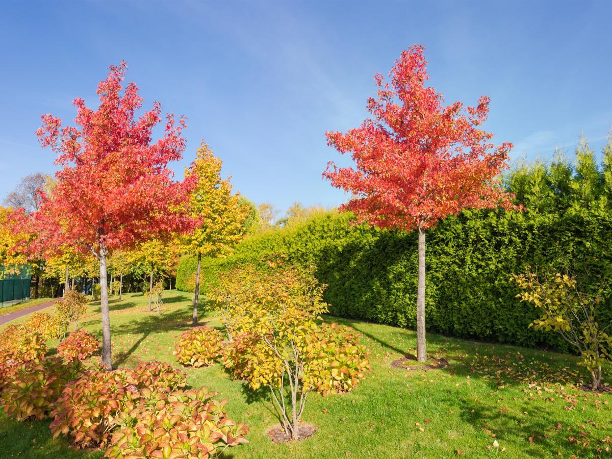 Drzewko ozdobne - ambrowiec