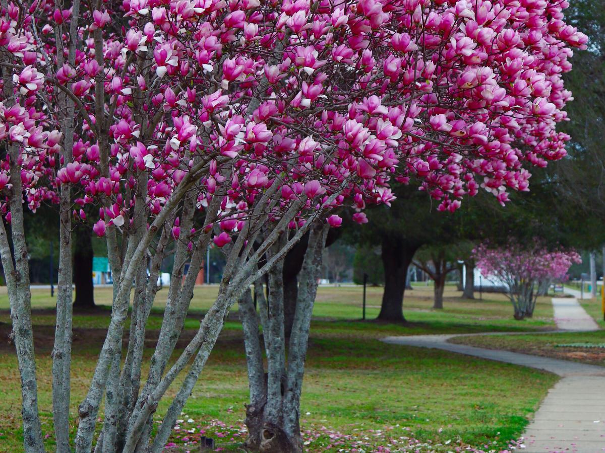 Drzewko tulipanowiec