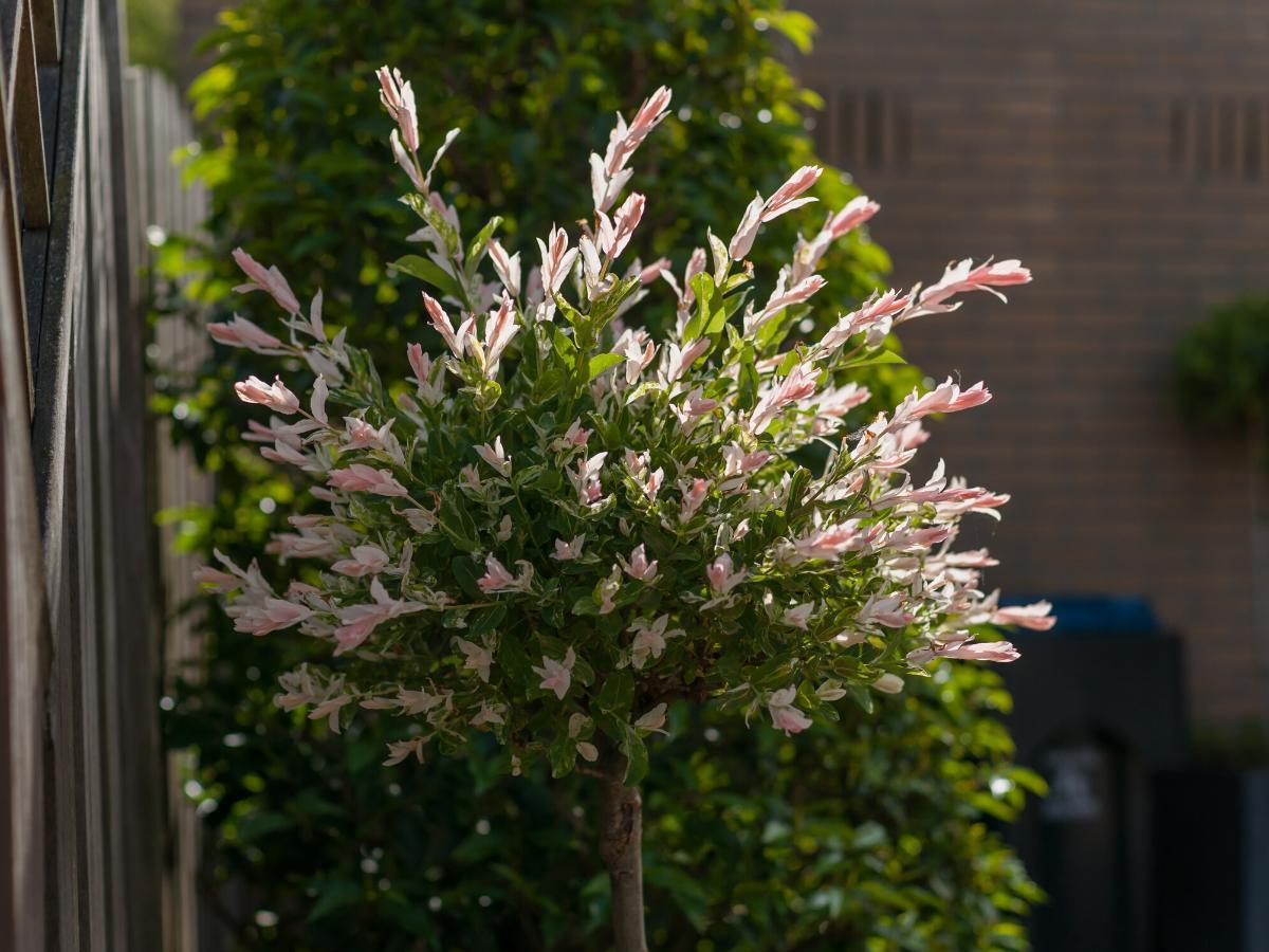 Wierzba japońska dekoracyjne drzewko
