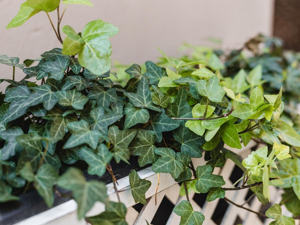 ekspansywne rośliny ogrodowe: bluszcz pospolity