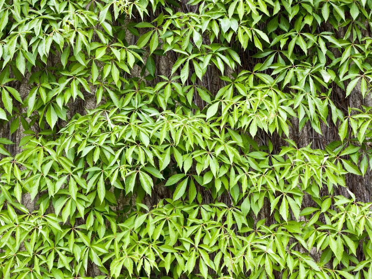ekspansywne rośliny ogrodowe: winobluszcz