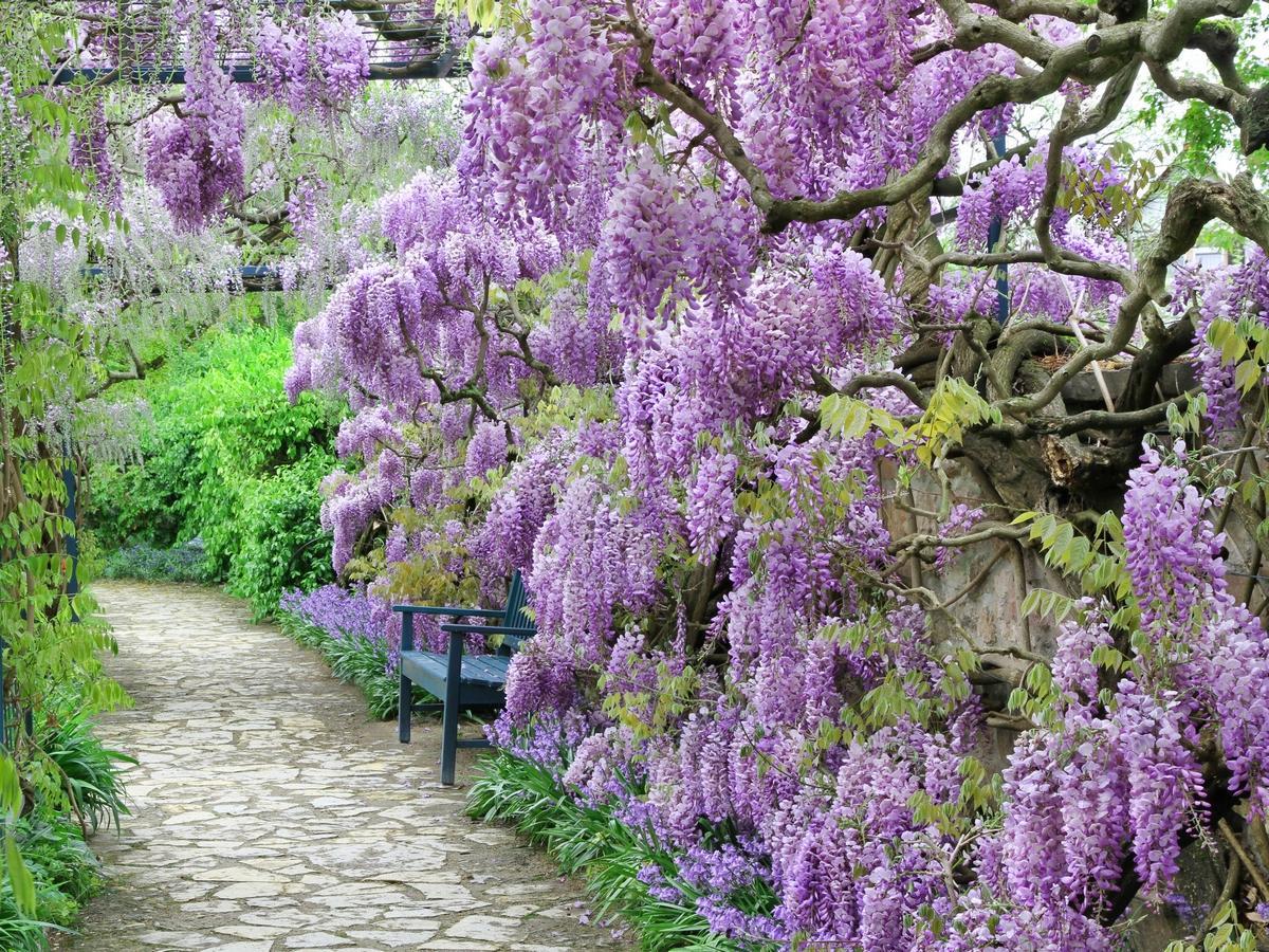 ekspansywne rośliny ogrodowe: wisteria