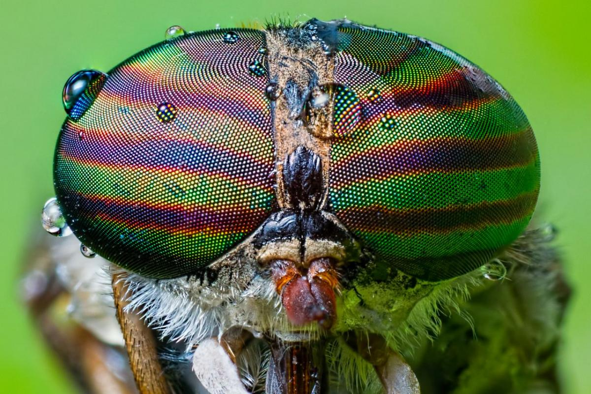 końska mucha