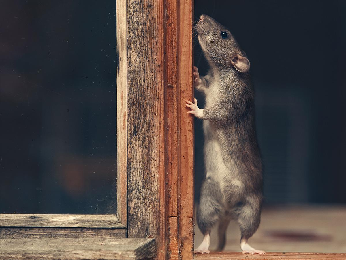 złapany szczur sennik