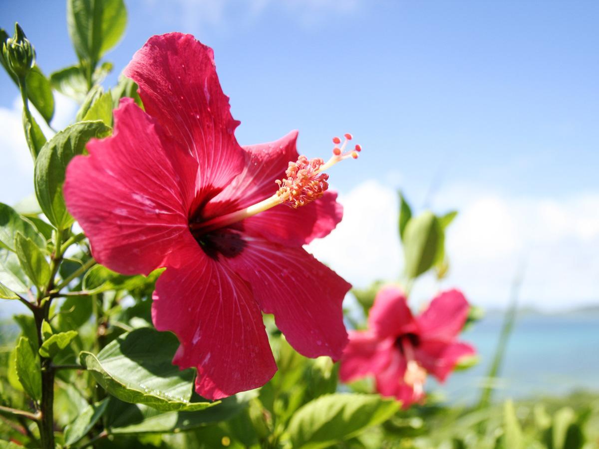 Hibiskus - horoskop kwiatowy