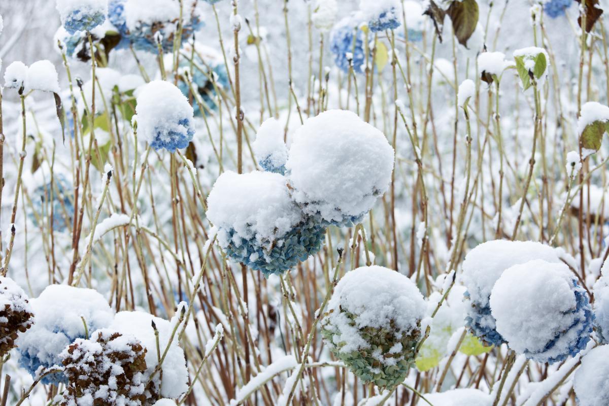 hortensja zimą