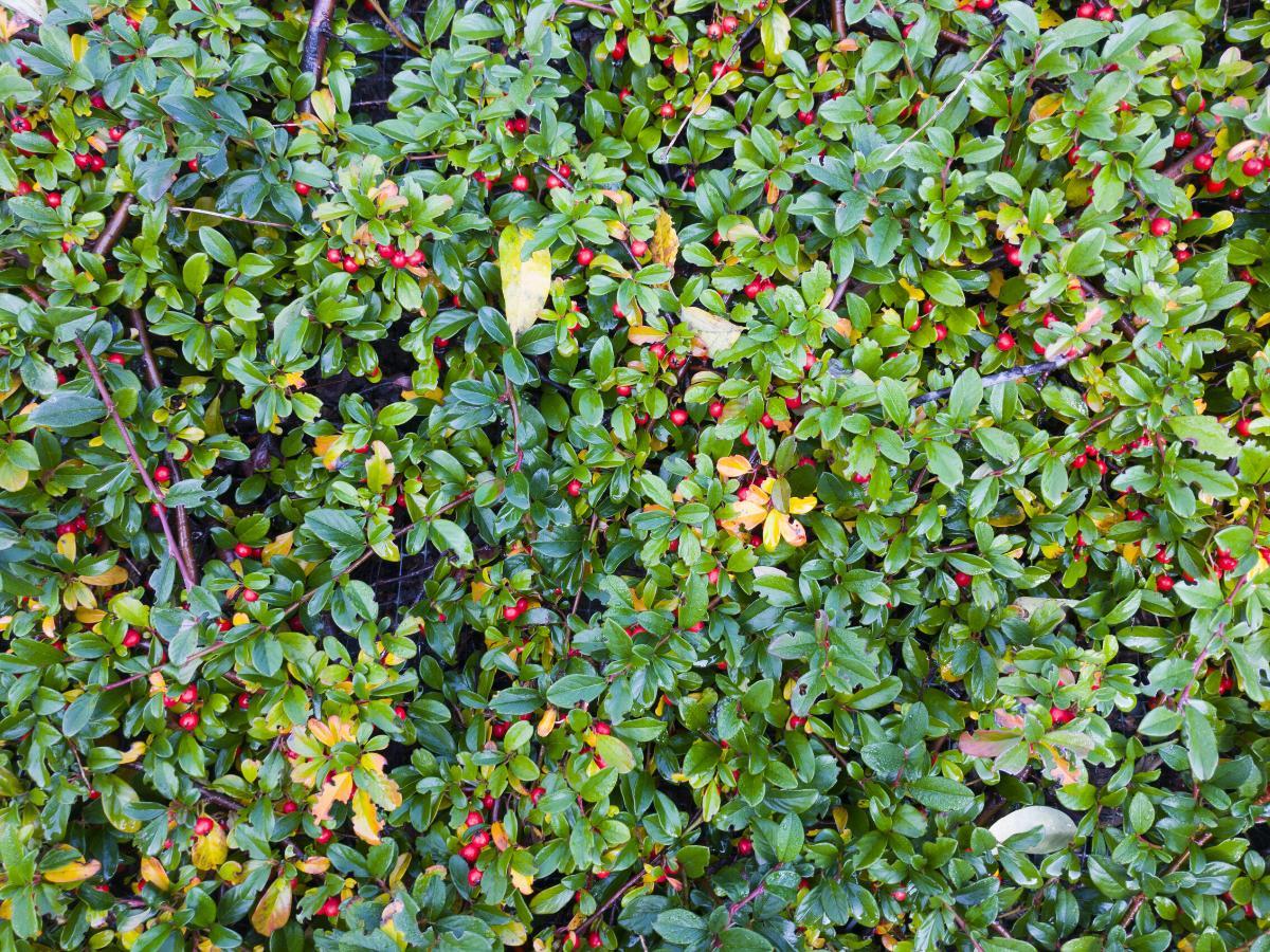 Irga płożąca - niski krzew ogrodowy