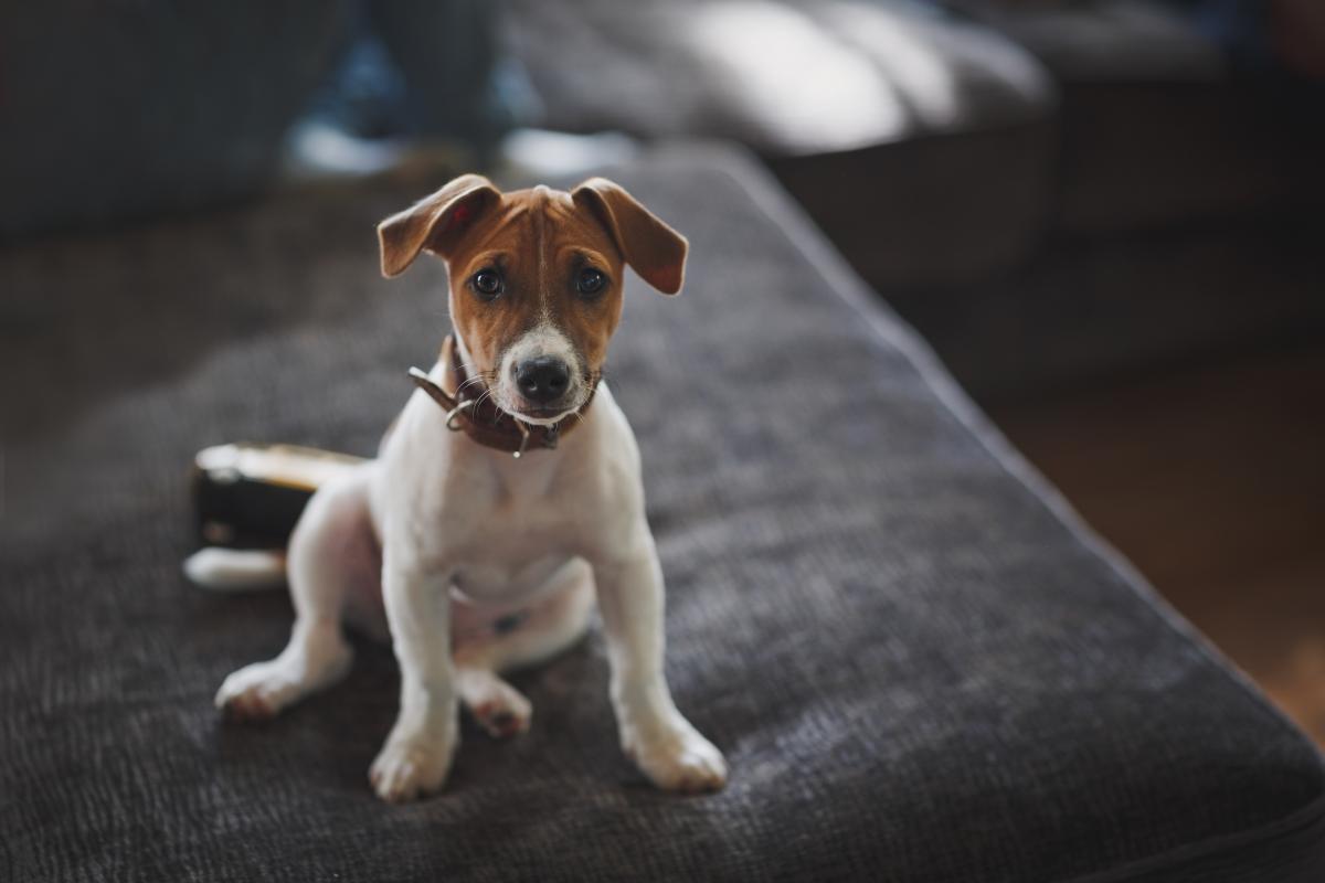 Jack Russel Terrier na kanapie