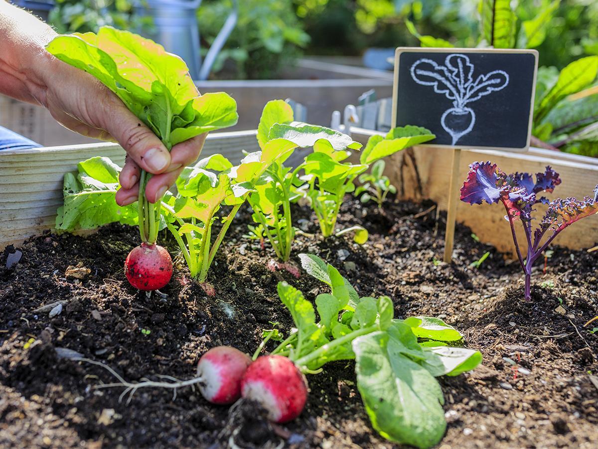 jak sadzić rzodkiewkę