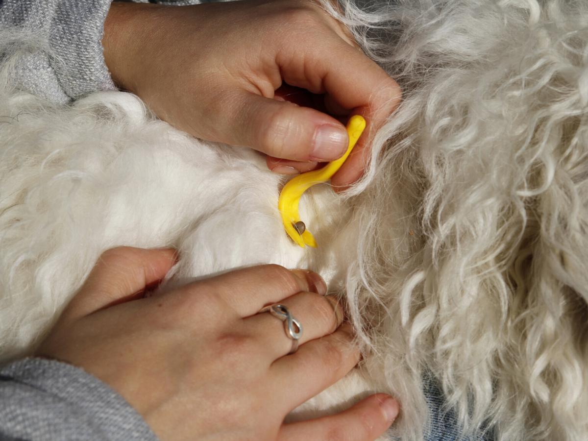 Usuwanie kleszcza u psa kleszczołapkami