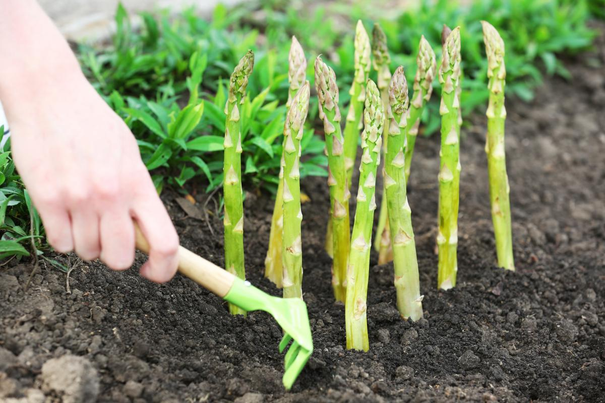 jak zbierać szparagi zielone