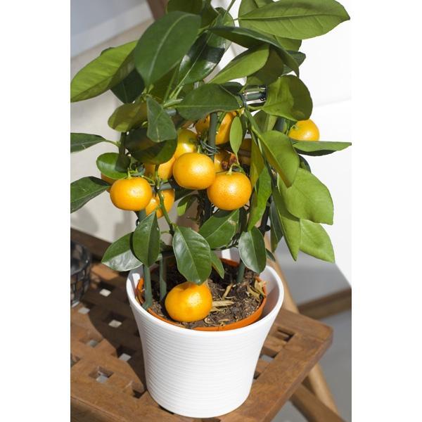 Drzewko pomarańczowe