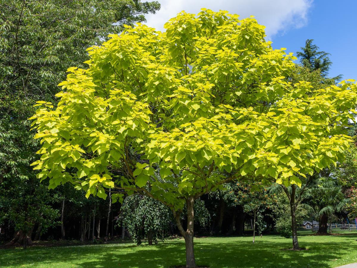Katalpa - drzewa szybko rosnące