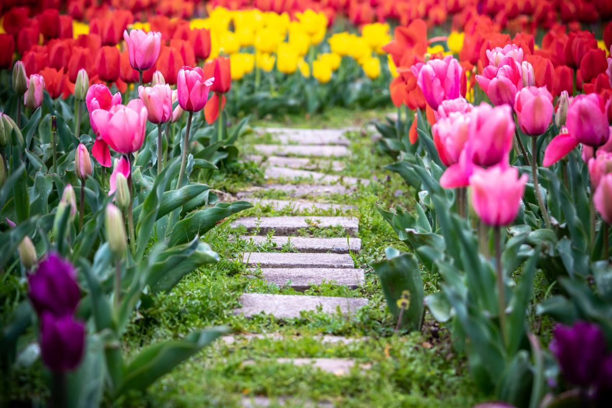 Kiedy sadzić tulipany jesienią