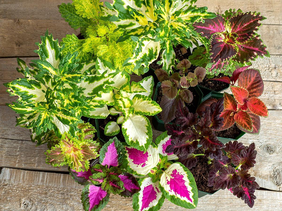Kwiaty Doniczkowe Cieniolubne Wiszace Na Balkon Do Ogrodu Ogrod I Balkon Polki Pl