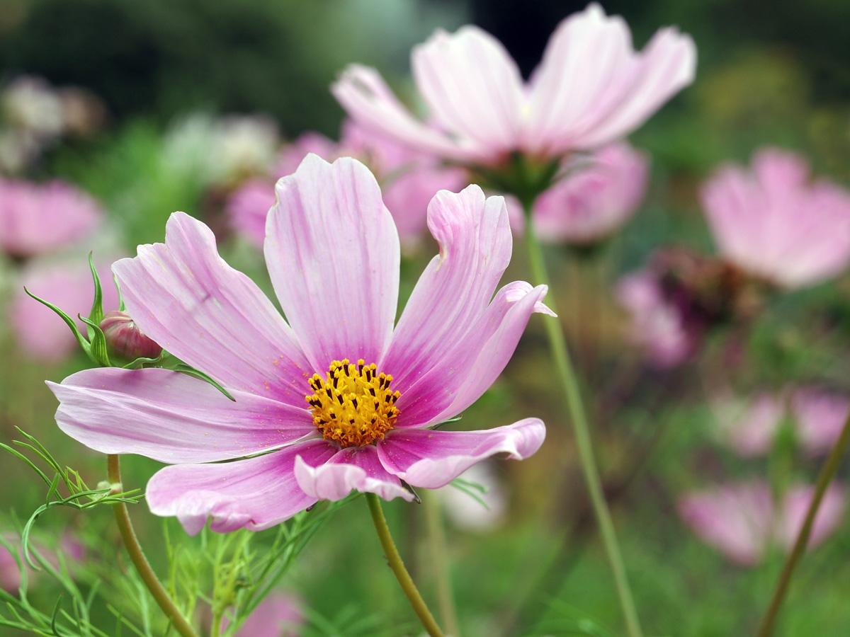 Kosmea - horoskop kwiatowy