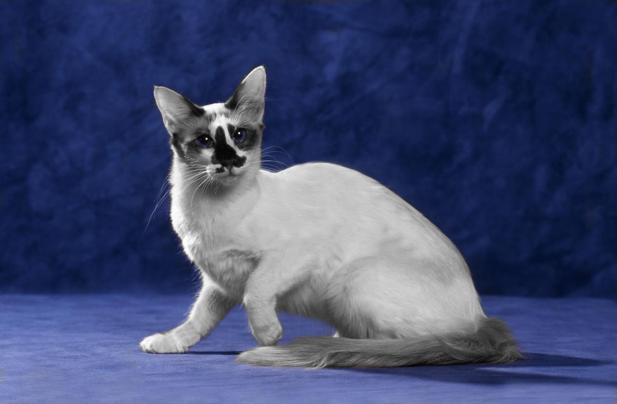 Encyklopedia ras kotów - kot balijski