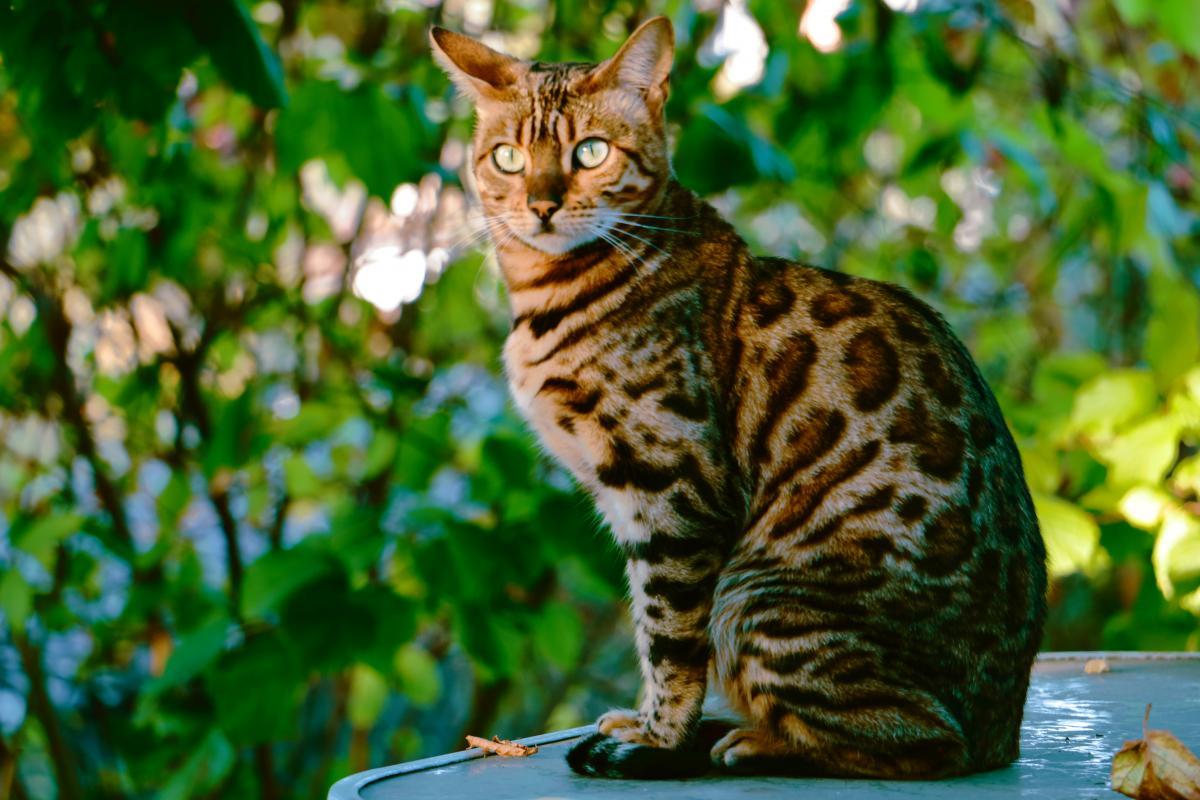 Encyklopedia ras kotów - kot bengalski