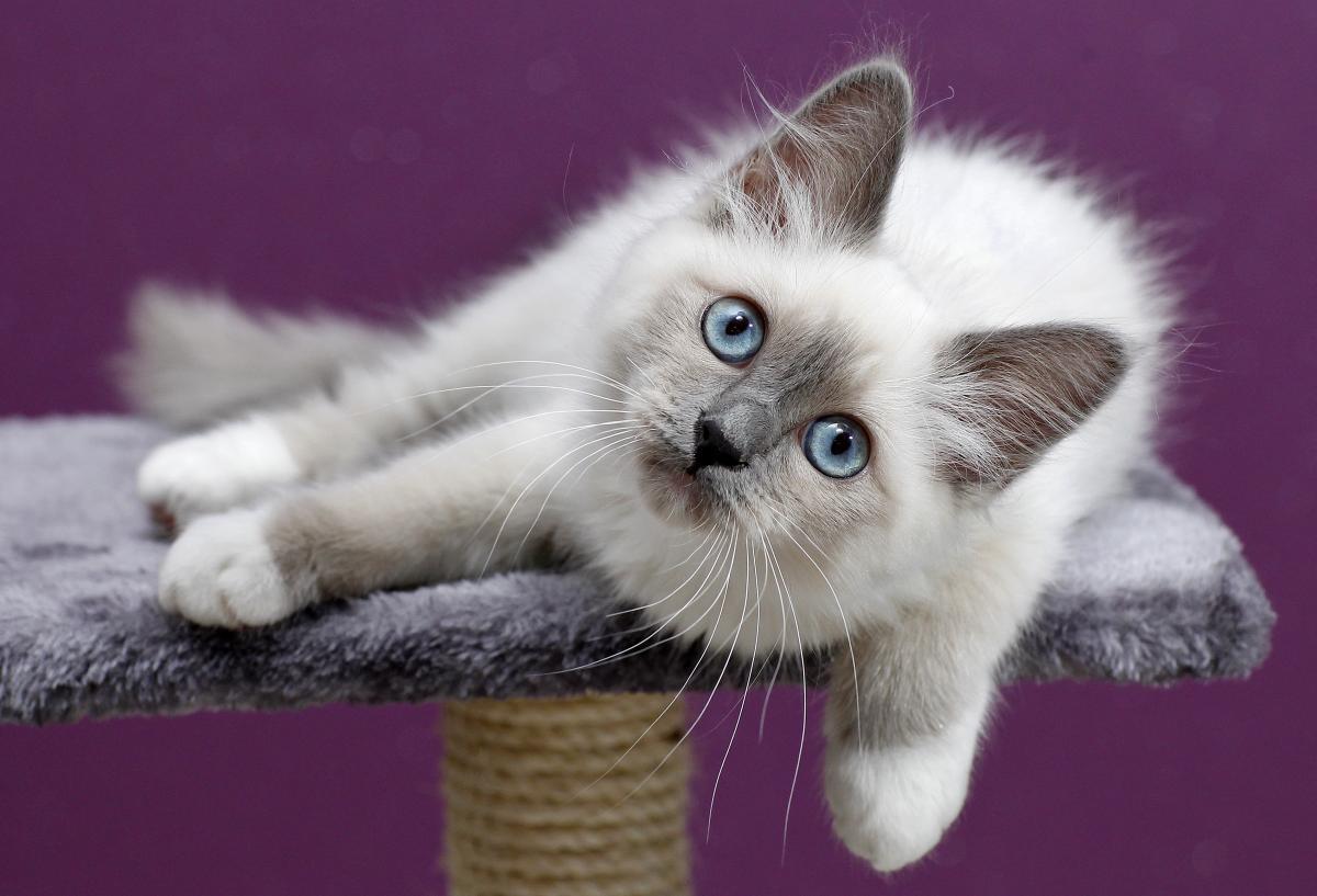 Encyklopedia ras kotów - kot birmański