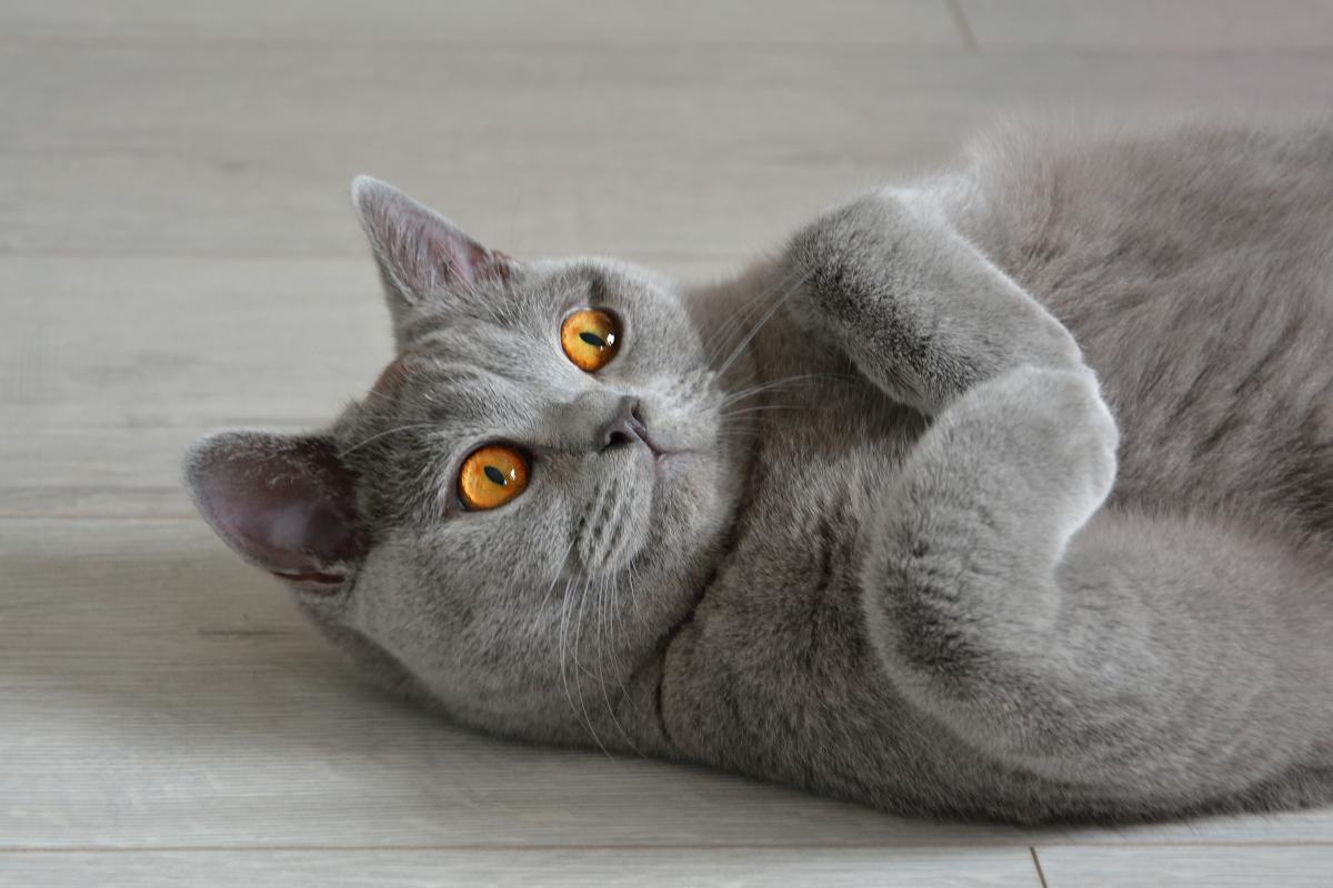 Encyklopedia ras kotów - kot brytyjski krótkowłosy