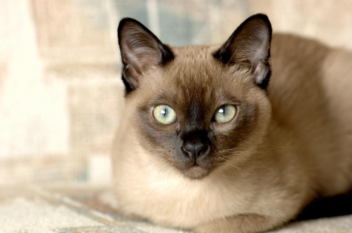 Encyklopedia ras kotów - kot burmański