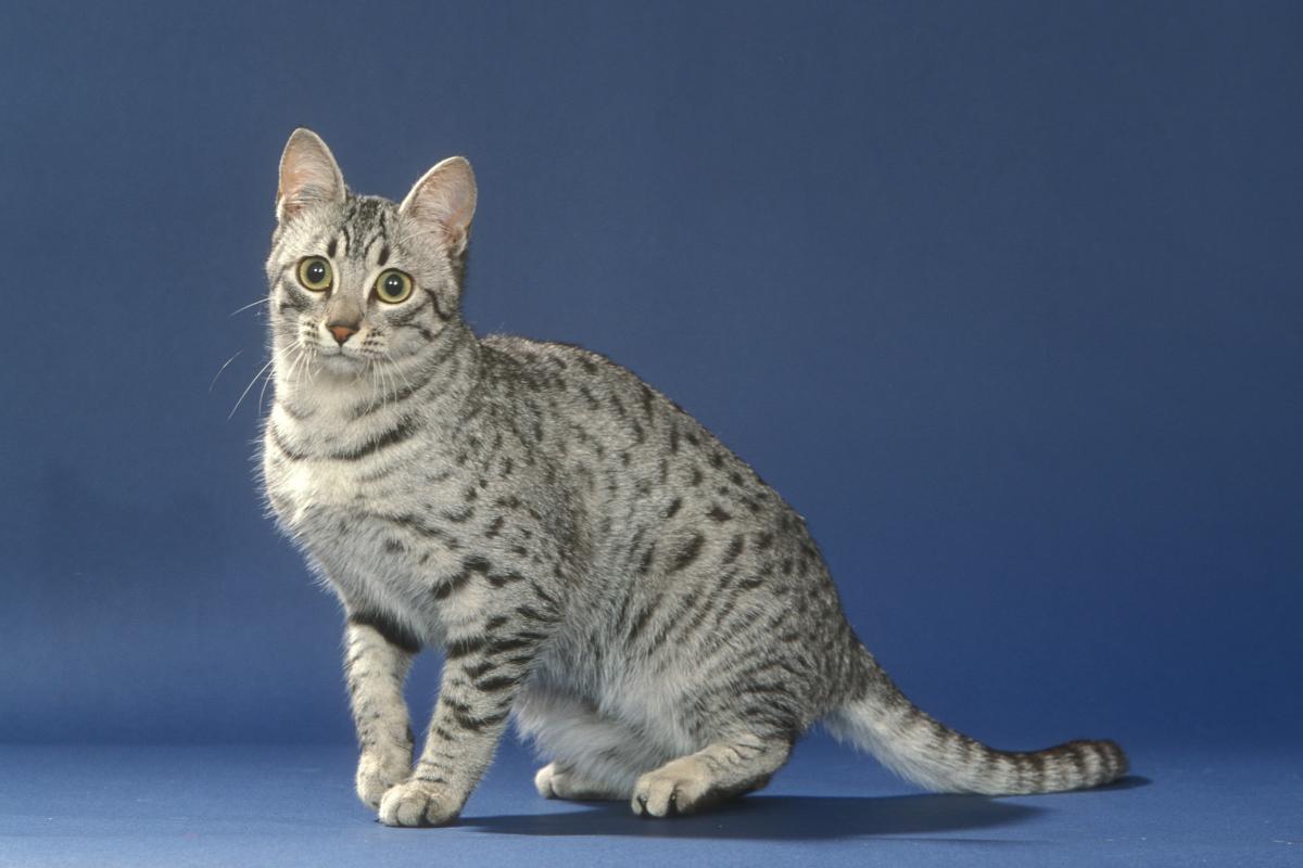 Encyklopedia ras kotów - kot egipski mau