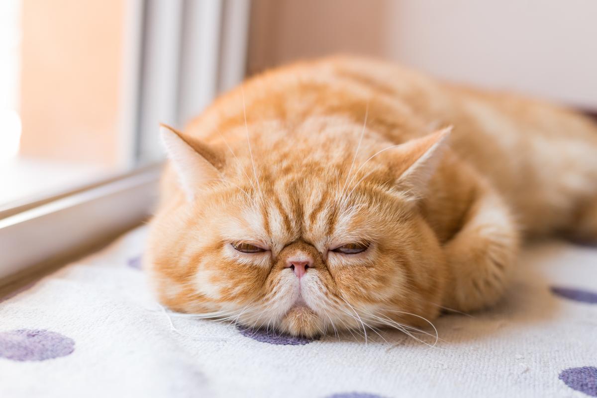 Encyklopedia ras kotów - kot egzotyczny