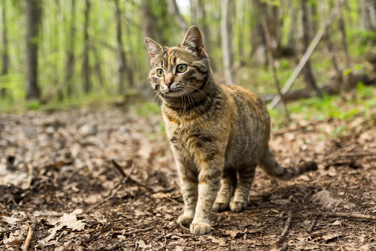 Encyklopedia ras kotów - kot europejski krótkowłosy