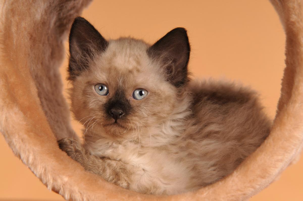 Encyklopedia ras kotów - kot german rex