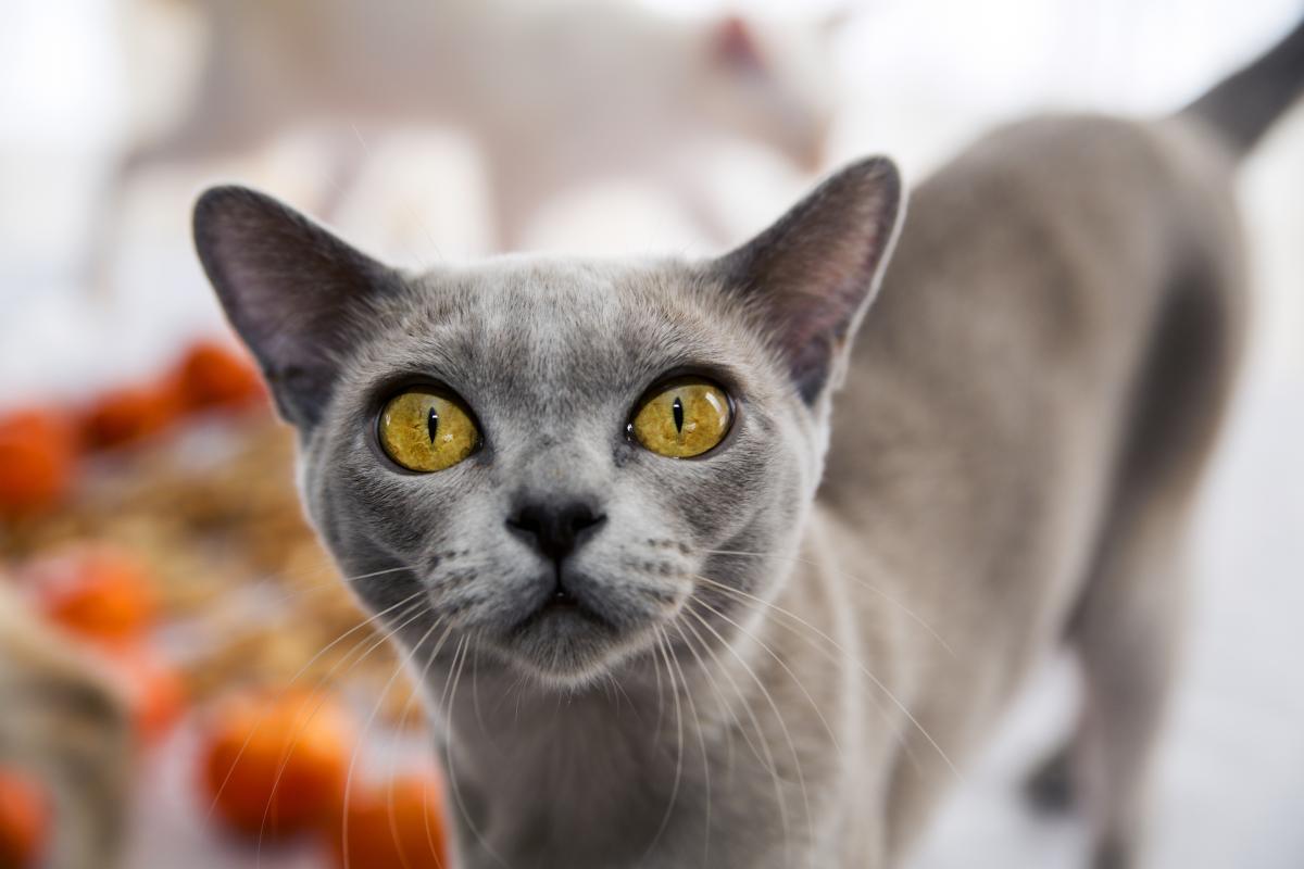 Encyklopedia ras kotów - kot jawajski (mandaryn)