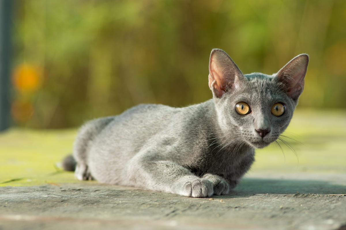 Encyklopedia ras kotów - kot korat