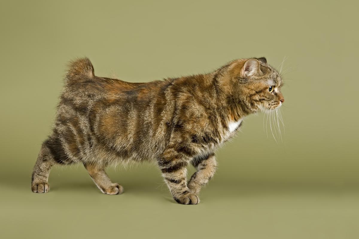 Encyklopedia ras kotów - kot Manx
