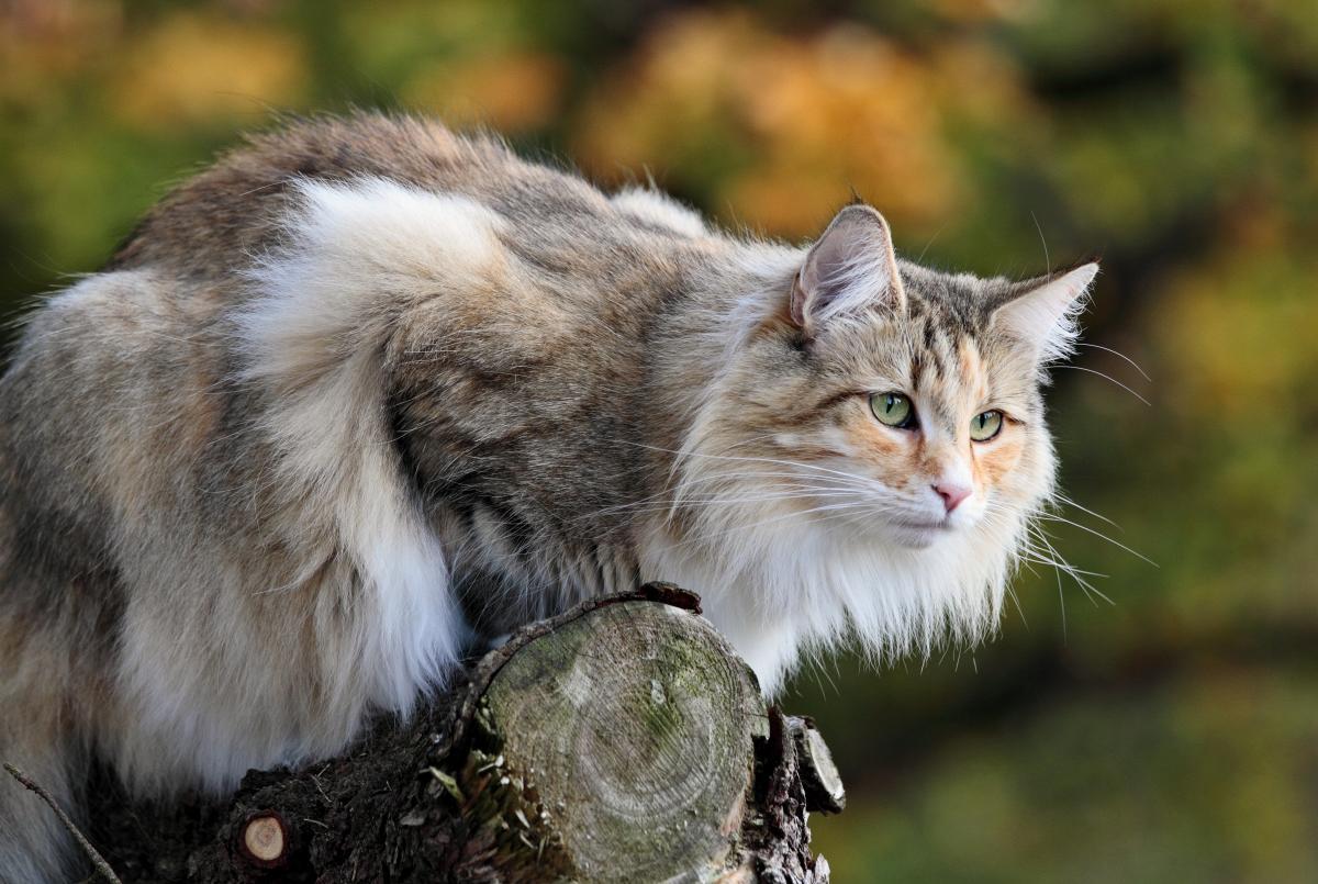 Encyklopedia ras kotów - kot norweski leśny